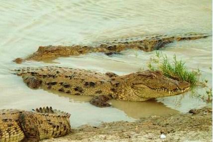 Iran Ghando Crocodile 1
