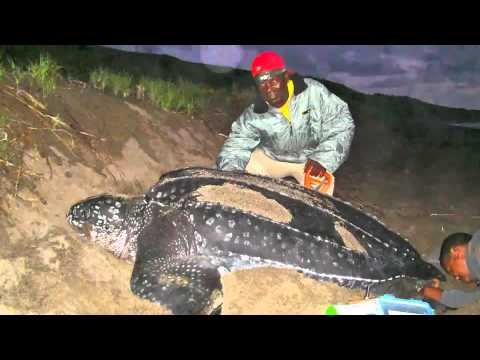 St Kitts and Nevis - Sea Turtle Conservation